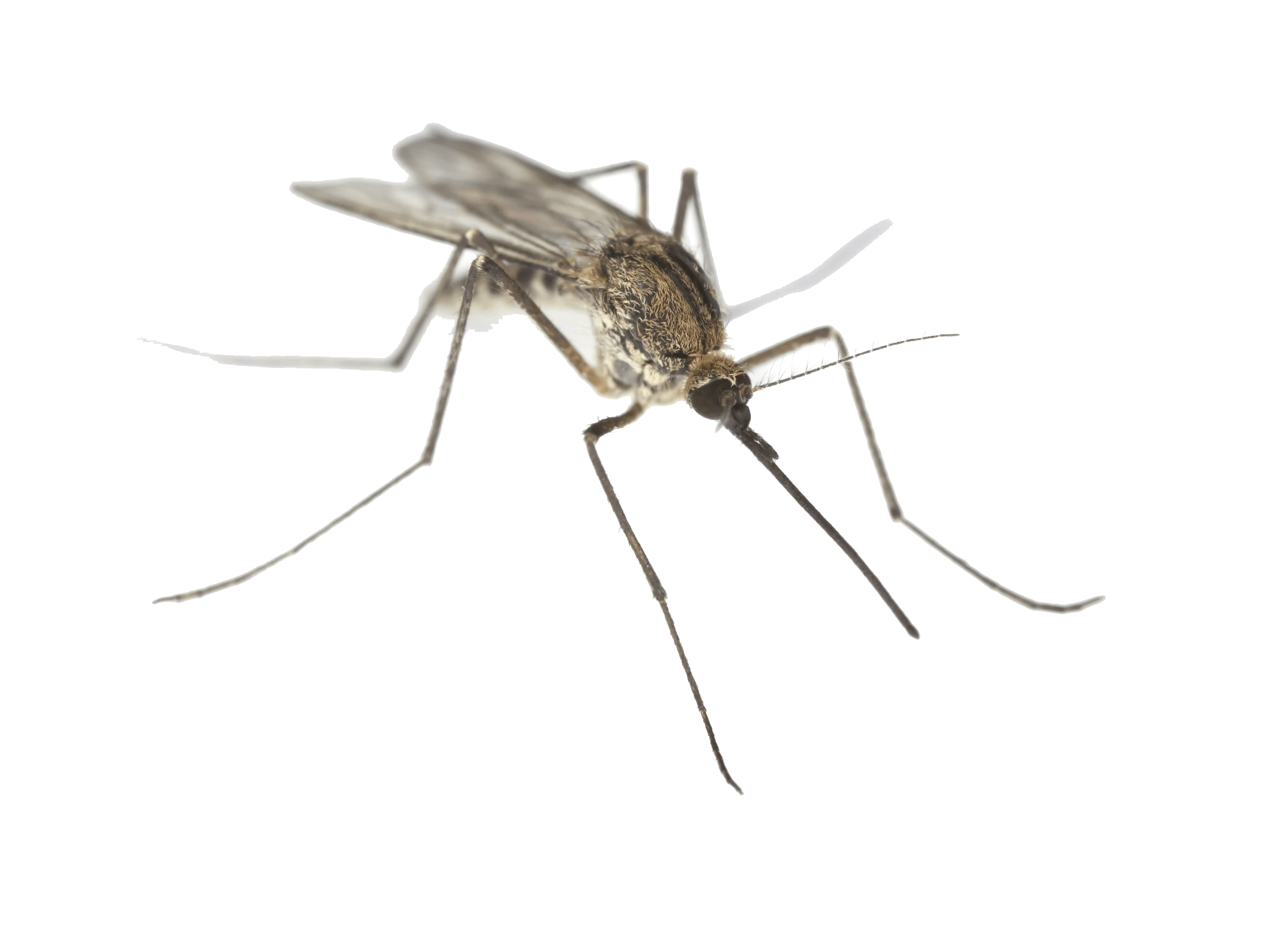 Small fly png. Mosquito images free download