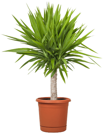 Small palm png. Index of assets images