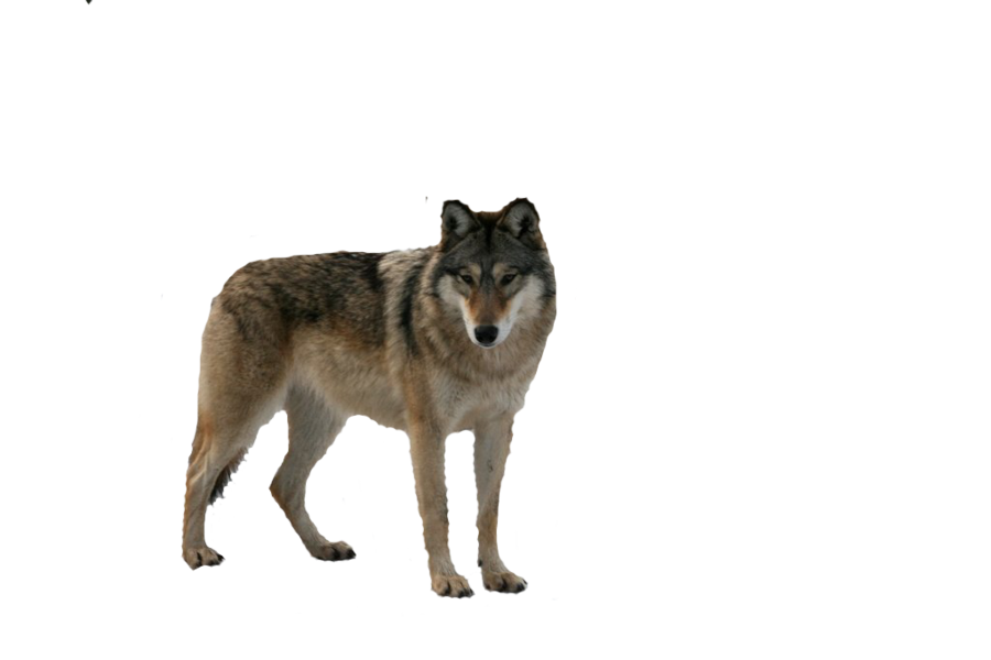 Wolves transparent. Wolf eight isolated stock