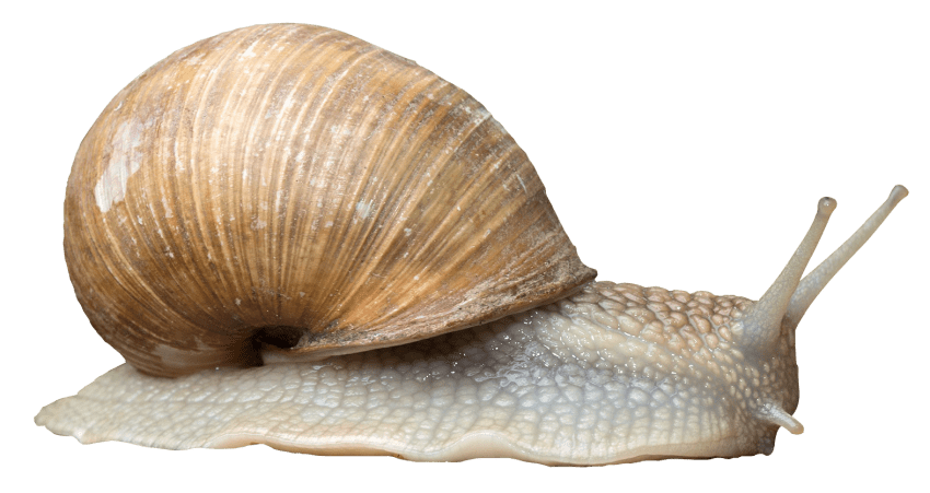 Snail png. Free images toppng transparent