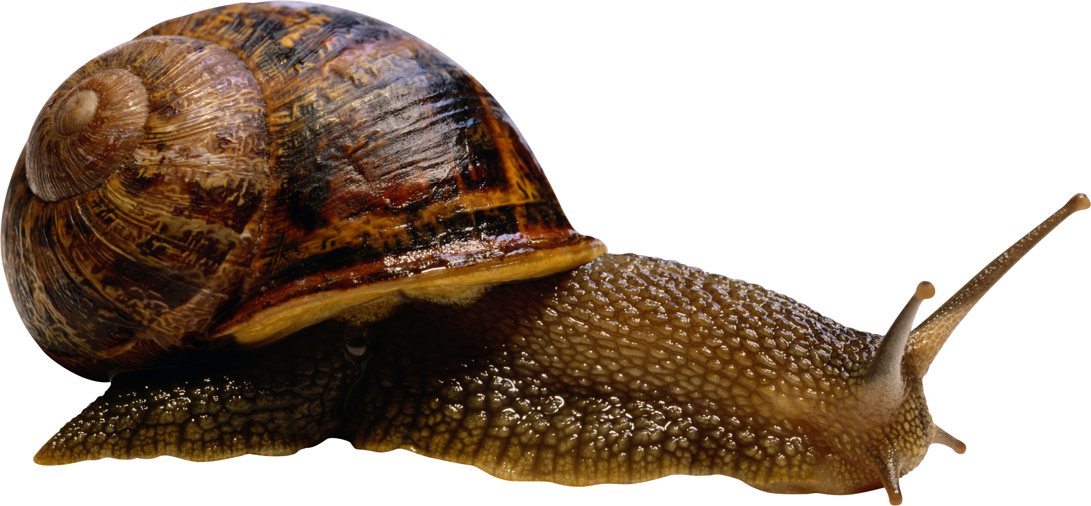 snail transparent png