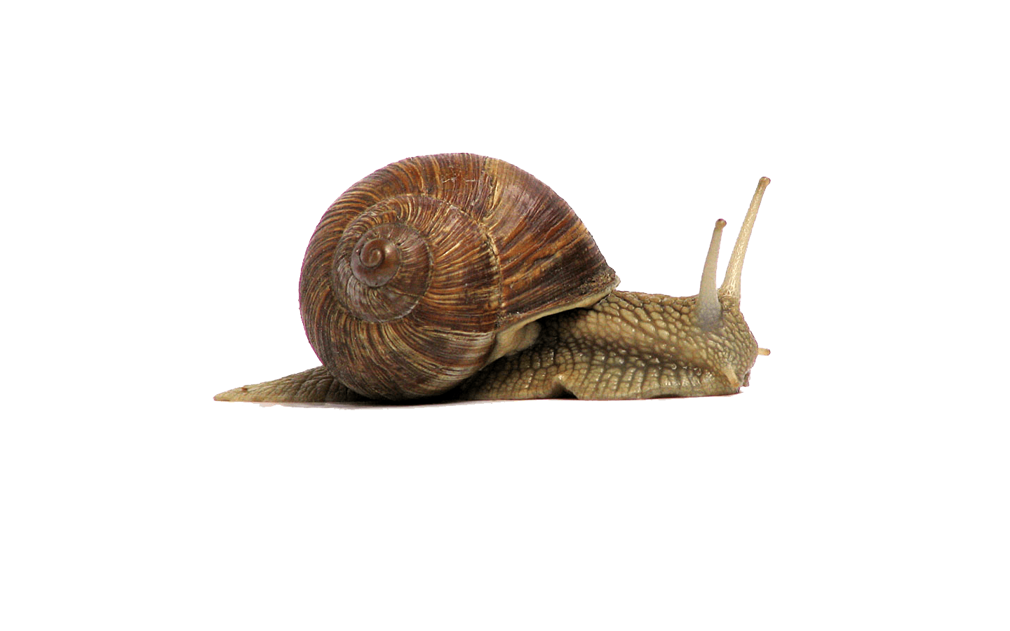 Snail png transparent background. Brown stickpng