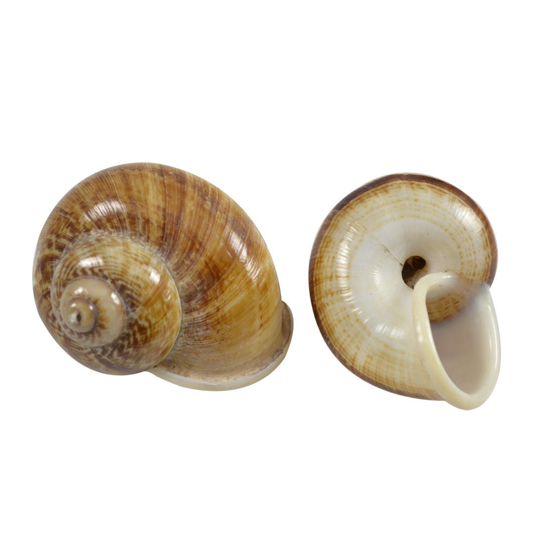 Shell transparent pearlescent. Brown mountain snail