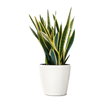 Snake plant png. The shop