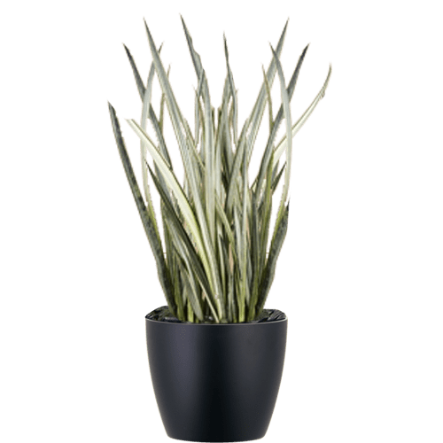 Snake plant png. Office plants and gardens
