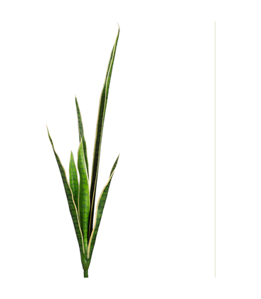 Snake plant png. Buy online inch on