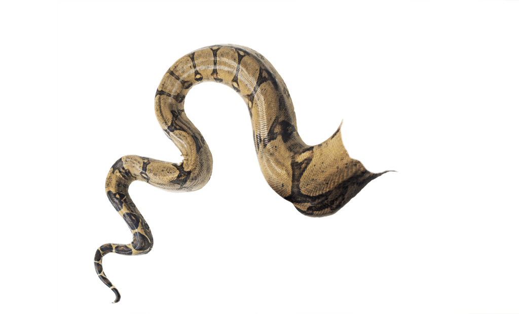 Snake tail png. Snaketail transparent doctoreno by