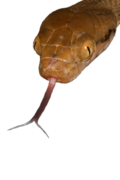 reptile tongue png