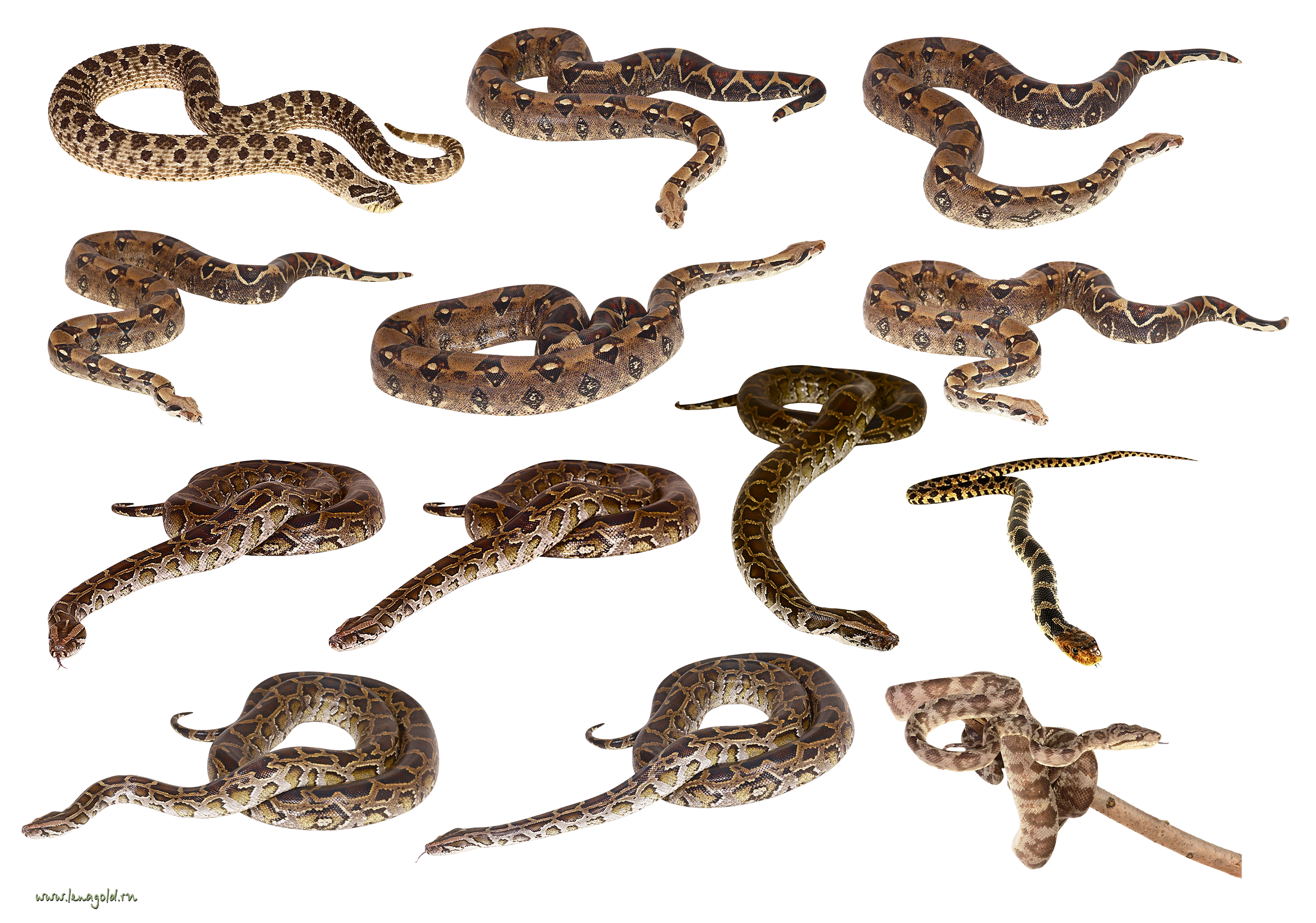 Snakes clipart. Png images