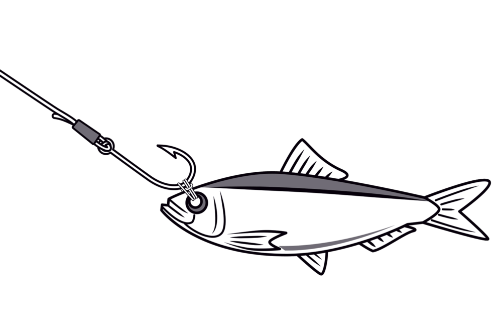 Snook drawing blackfin tuna. How to bridle live