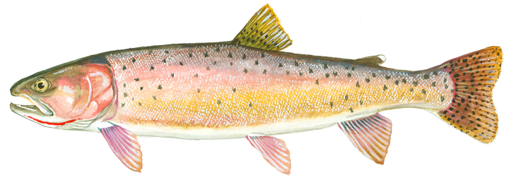 Snook drawing grouper. Trout cutthroat pinterest and