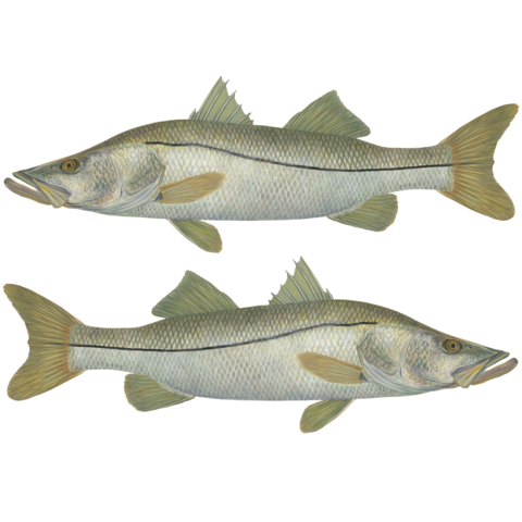 Snook drawing redfish. Collection of hats decals