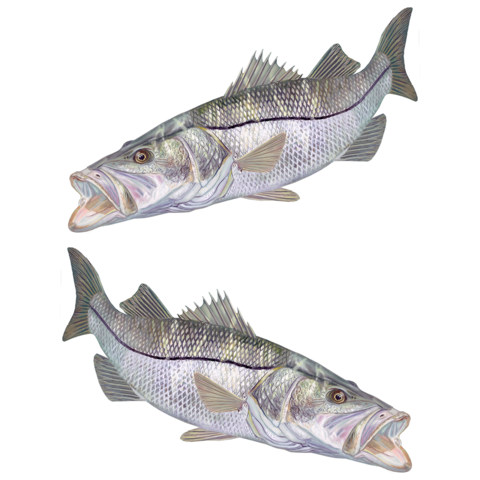 Snook drawing water. Collection of hats decals