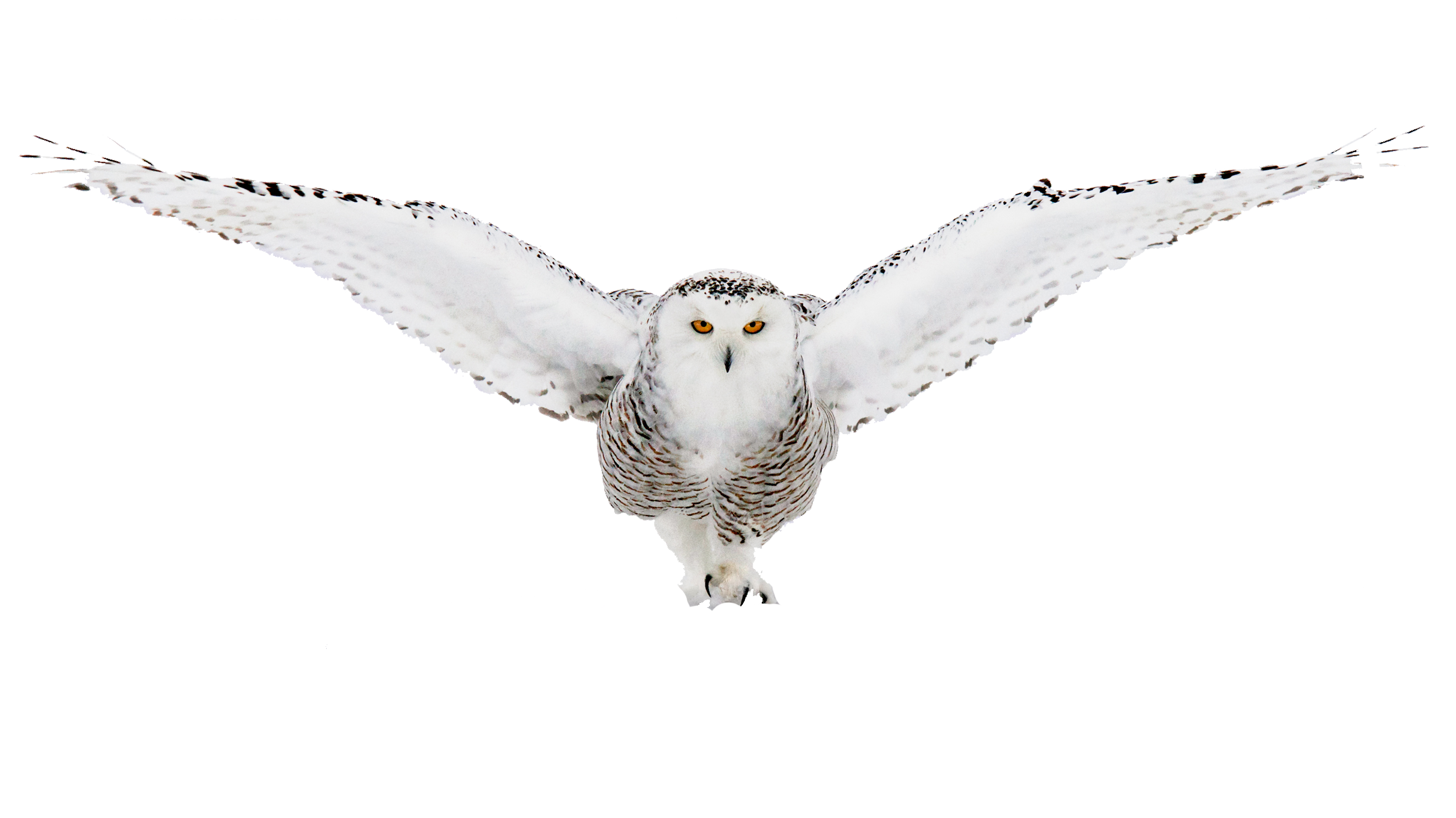 Snow owl png. Snowy by samm on