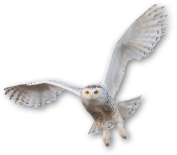 Snow owl png. Tierpark hellabrunn snowy neither