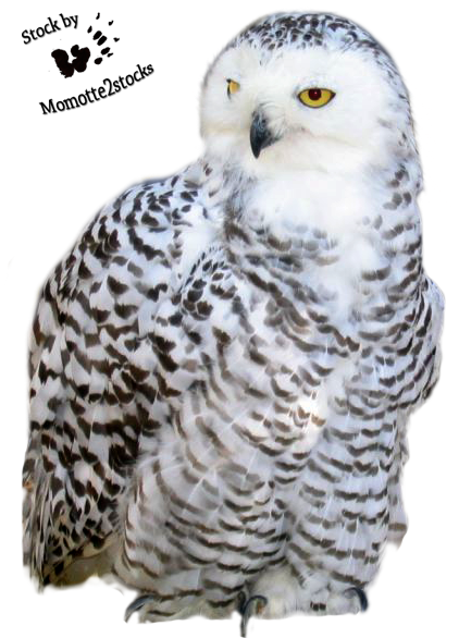 Snow owl png. Cut out stock snowy