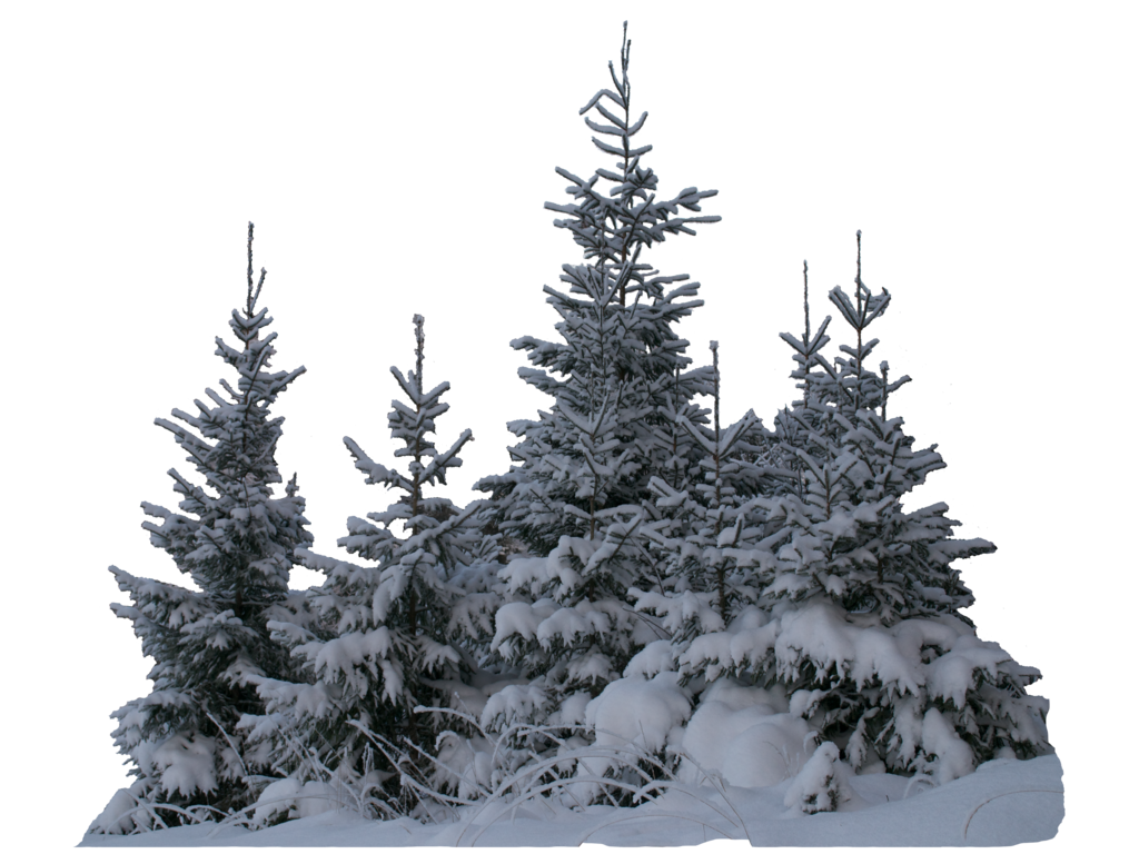 Snow trees png. Wintery spruces unrestricted stock