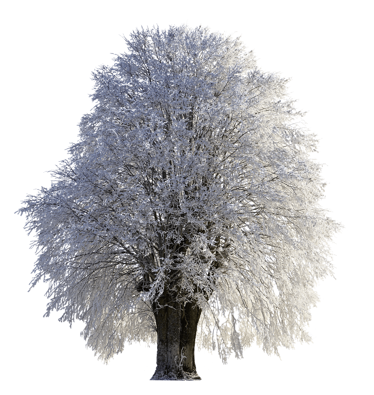 Snow tree png. Full of photos