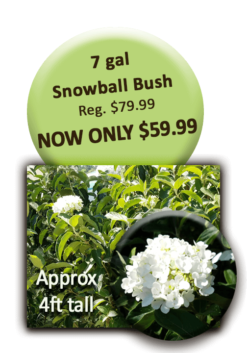 Snowball bush png. Gal welcome to