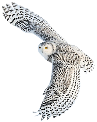 Snowy owl png. Snow at the foomart