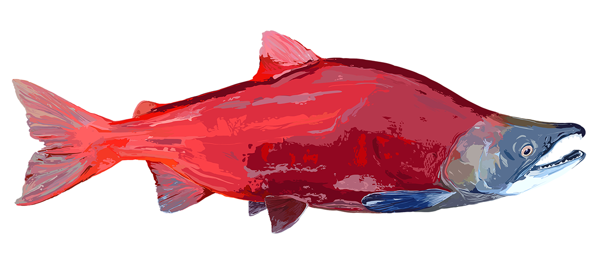 Sockeye salmon png. On behance