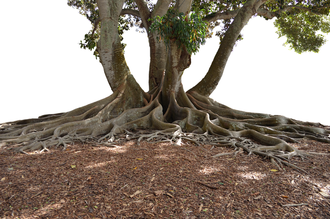 Soil and roots png. Mangrove tree in landscape