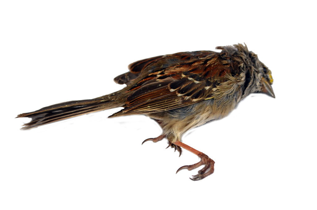 Sparrow decal png stock. Dead bird photo by