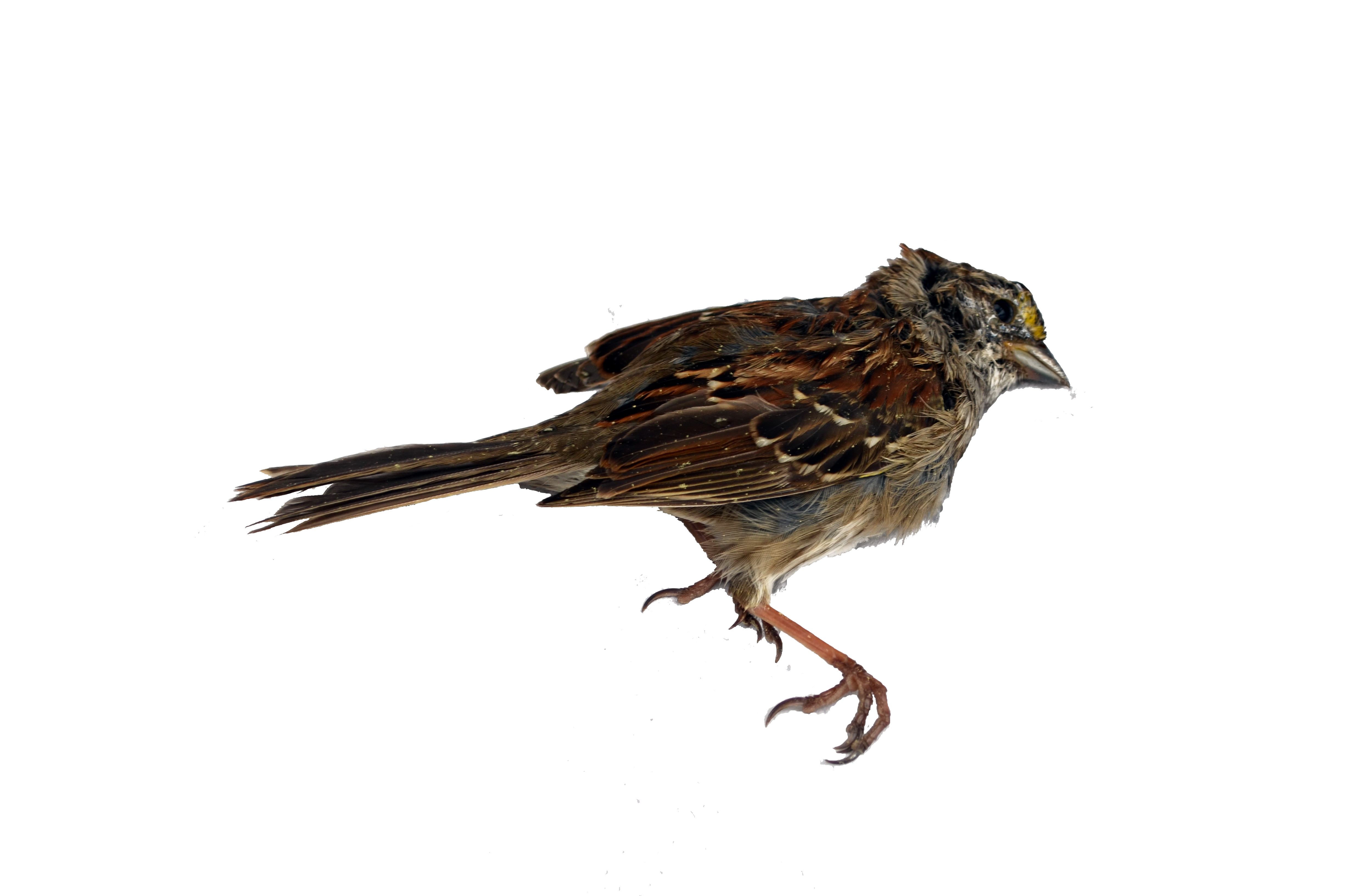 Sparrow decal png stock. Dead bird photo s