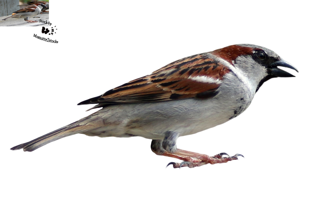 Sparrow decal png stock. Cut out happy by