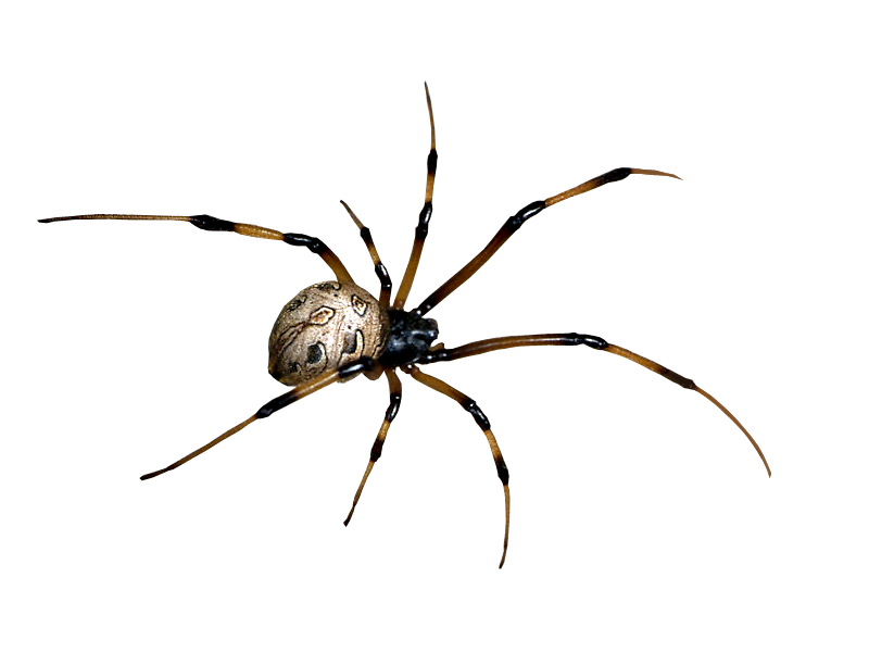 Transparent spider png. By camelfobia on deviantart