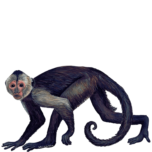 spider monkey png