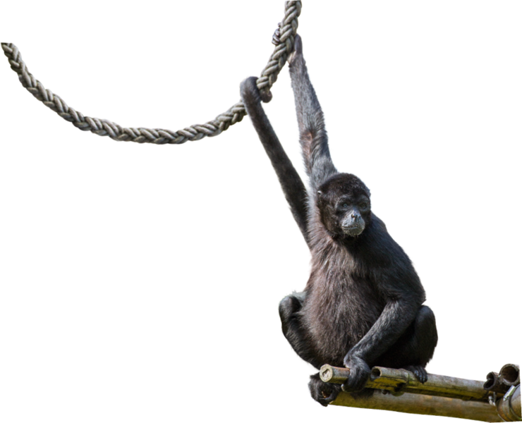 Spider monkey png. Tierpark hellabrunn colombian the