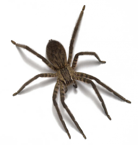 Spider png. Images free download photo