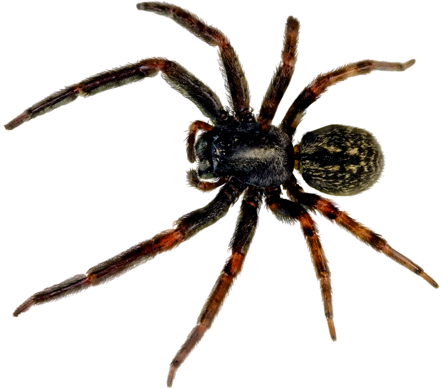 Spider .png. Png images free download