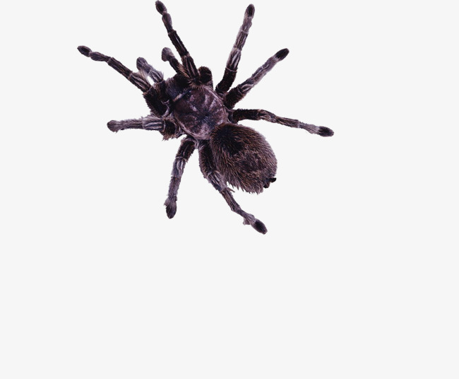 Spiders clipart spider insect. Hairy animal png image
