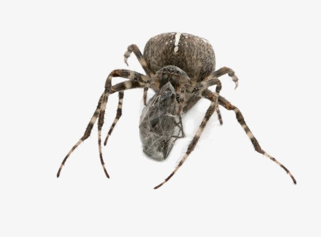 Spiders clipart spider insect. Insects animal png image