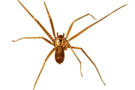 Spiders drawing brown recluse spider. Range k pictures full