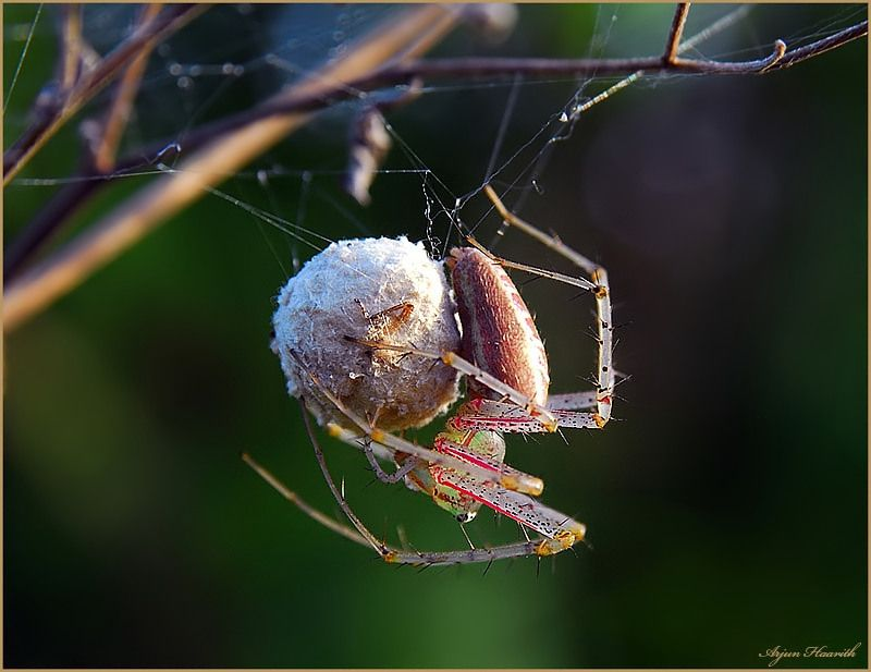 Spiderweb clipart spider egg. With sack arachnids spiders