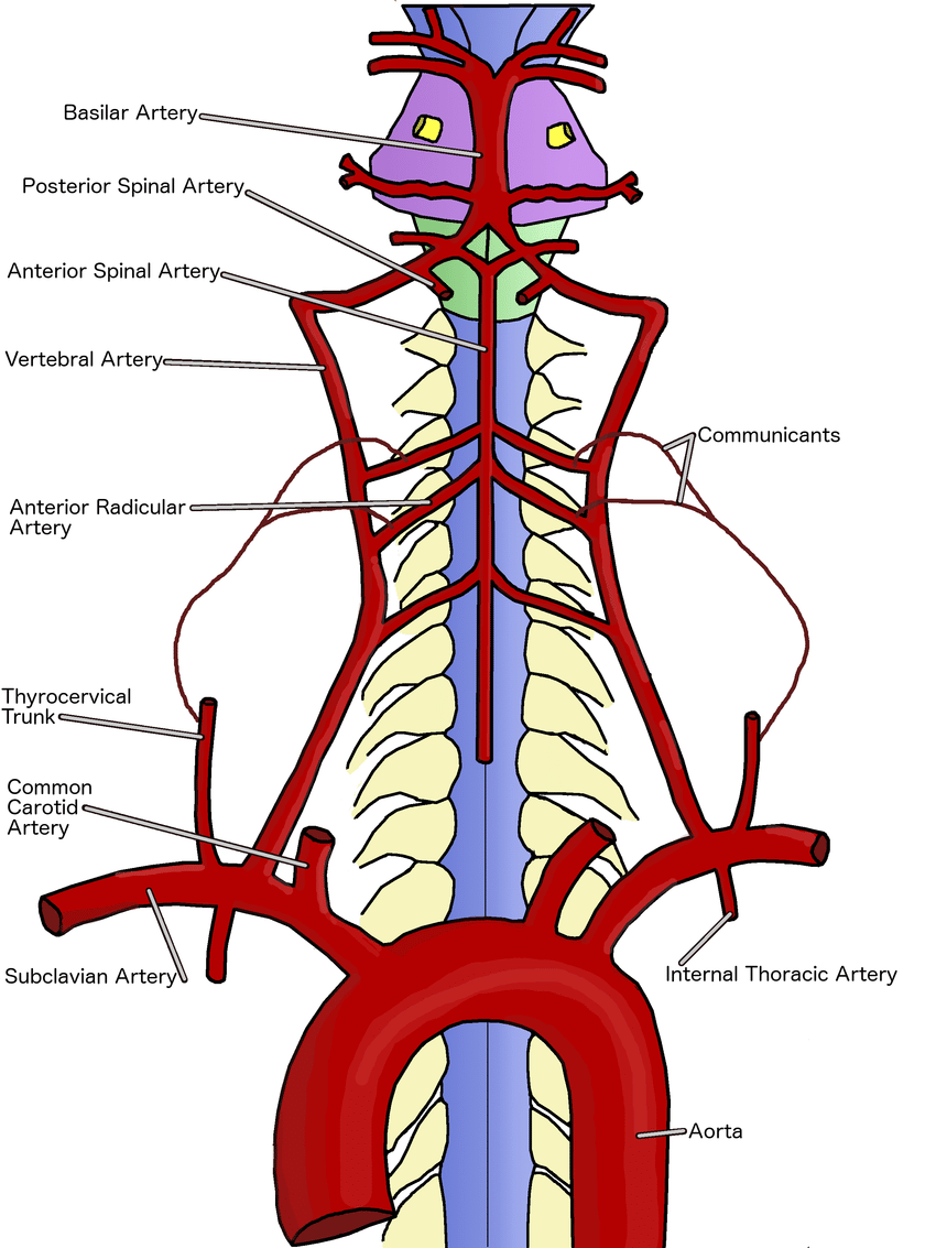 Spine clipart anterior. The cervical spinal cord
