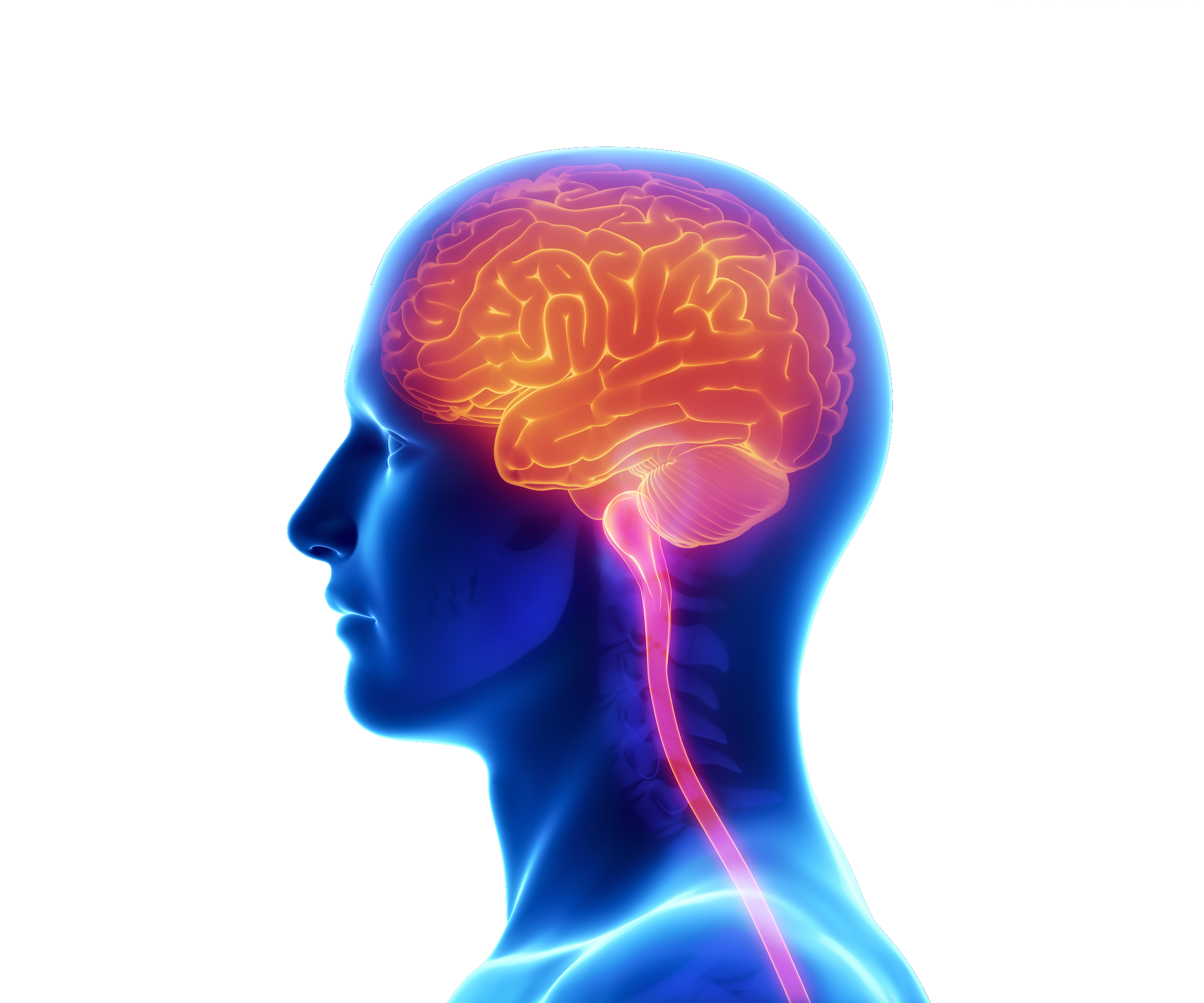 Spine clipart brain. Human and png file