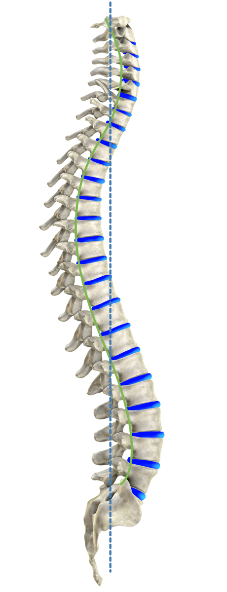 Curve spine png. The ideal spinal column