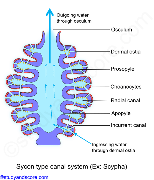 Sponges drawing sycon. Phylum porifera canal system