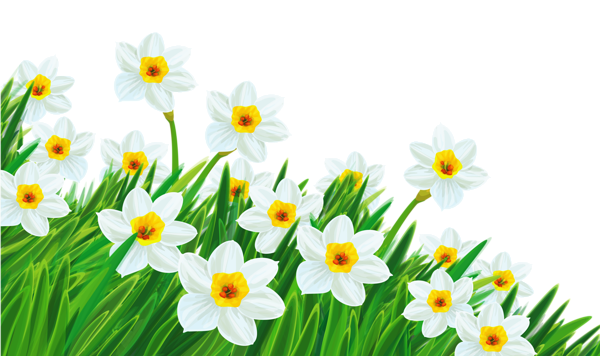 Easter clip daffodil. Transparent grass with daffodils