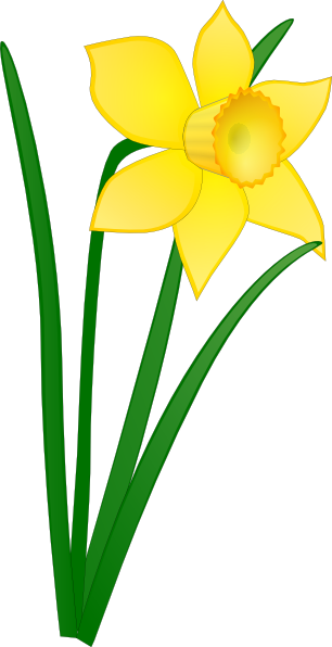 narcissus drawing daffodil