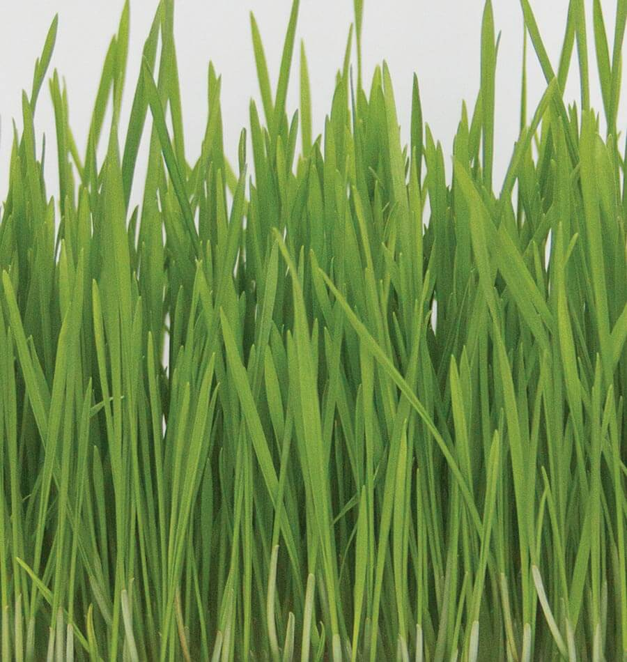 Sprout clipart grass seed. Hard red wheat organic