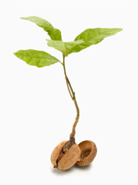 Sprout clipart tree sprout. Acorn free images at