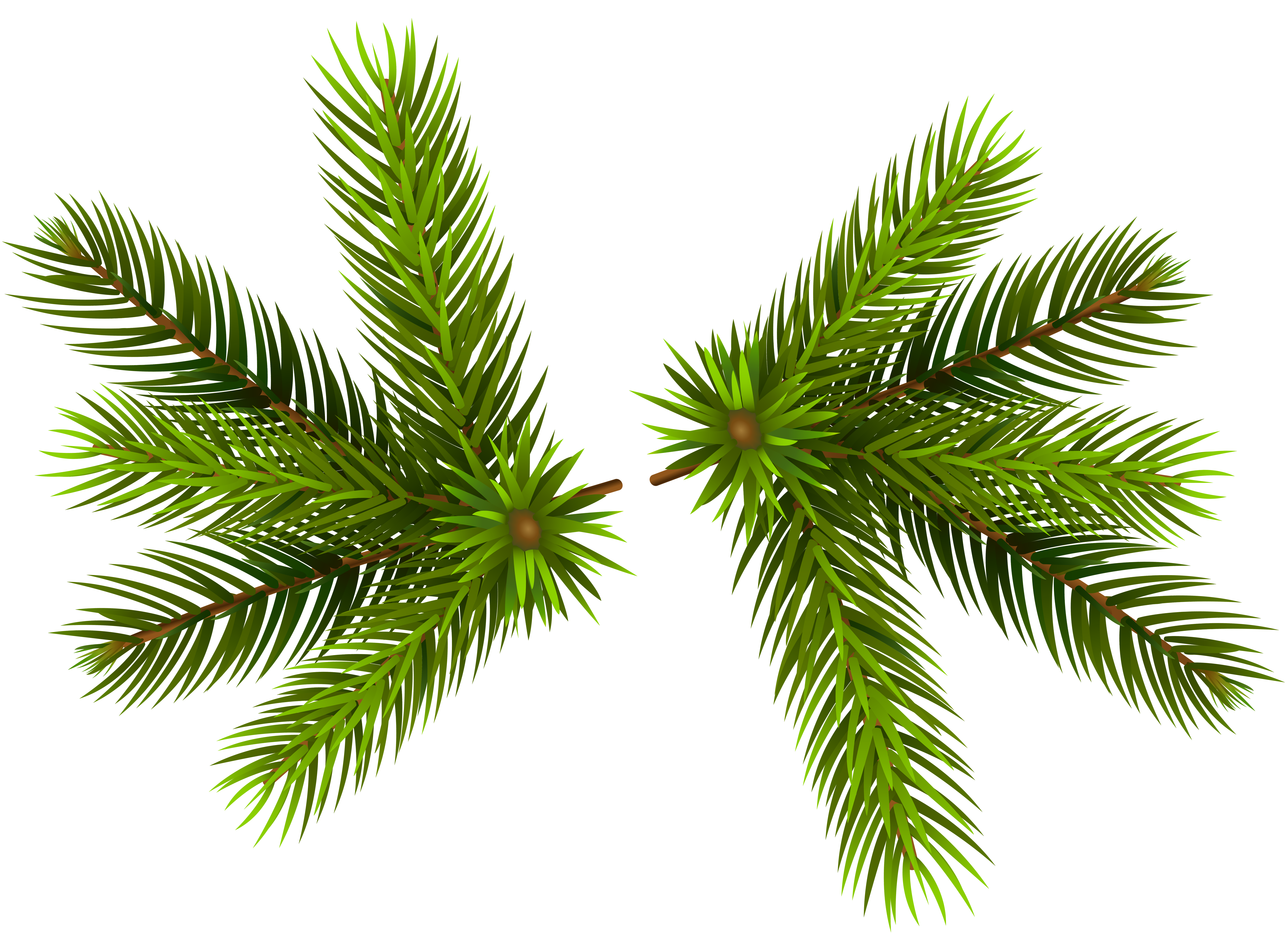 Pine branches transparent clip. Spruce branch png clip freeuse download