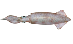Squid clipart mollusk. Doryteuthis opalescens wikipedia