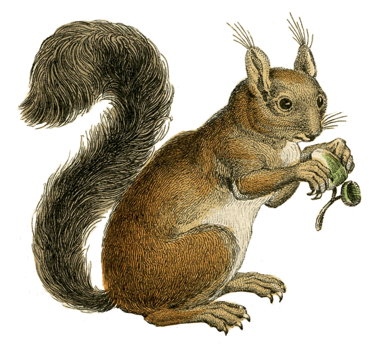 Squirrel clipart september. Natural history instant art