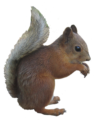 Acorn clipart fox squirrel. Panda free images squirrelclipart